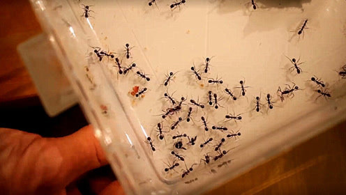 用磁铁靠近蚂蚁会怎样?蚂蚁瞬间晕头转向,画面太神奇了!