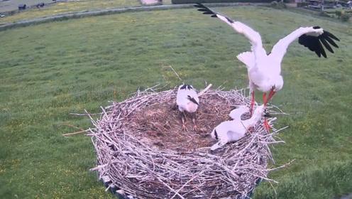 可怜的幼鸟,被母亲从高处活活扔了下去,镜头记录全过程!
