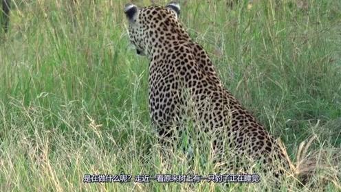 花豹在树上享用猎物,非洲二哥想分一杯羹,却不想招来鄙夷眼色
