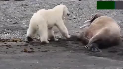 北极熊作死去调侃海象!直接被海象一声怒吼吓得落荒而逃!