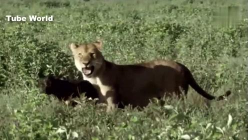 非洲狮子的仁慈瞬间,是不是小白兔上身了,逮到的猎物居然不吃