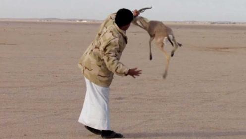 真会玩!主人故意放羚羊逃生,然后让几十条猎狗去追