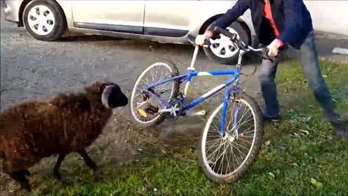 公羊:居然在我面前骑自行车耍威风,看我怎么收拾你!倒霉男子只能弃车而逃