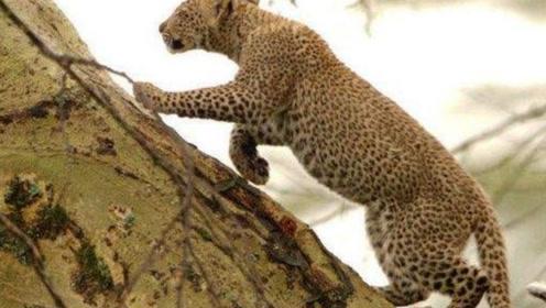 """花豹上树捕食猫头鹰,上演了一出""""翁中捉鹰"""",镜头记录全过程"""