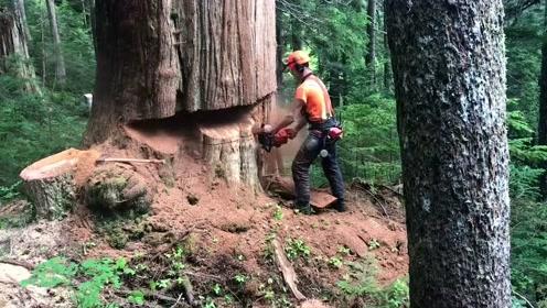 实拍俄罗斯伐木工,砍伐直径1.8米粗的大树,看着好过瘾