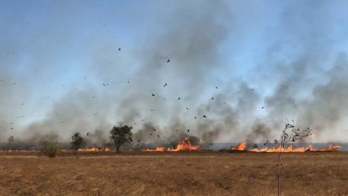 澳大利亚惊现猛禽纵火犯,叼着燃烧的树枝去焚山,太不可思议了