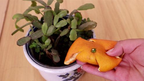 橘子皮扔进花盆里,还有意想不到的大用途,厉害又省钱,抓紧回家试试