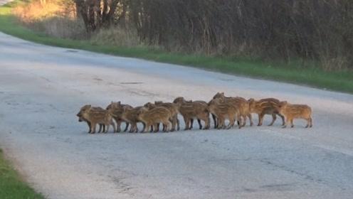 野猪排队过马路,模样非常的可爱,镜头记录全过程