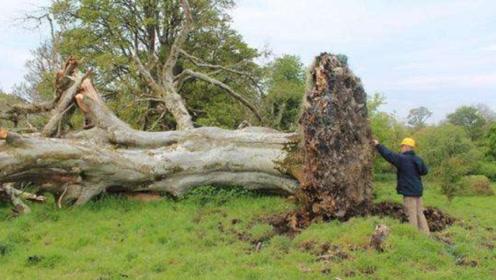 200年老树突然倒塌,专家从树根扯出千年干尸