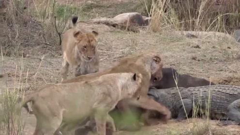 饿疯的鳄鱼爬上陆地,直接在狮子口中抢食物,结果被狮子一顿暴揍