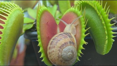 捕蝇草胃口那么好能消化蜗牛吗?奇葩老外亲测,结果让人傻眼!
