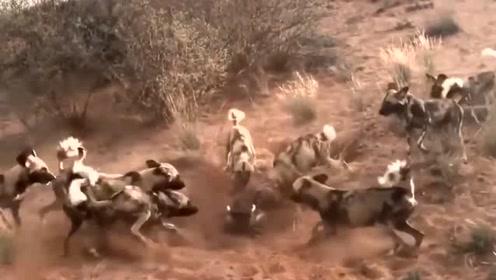 猎狗群为了吃猪肉,挖了一个大洞,疣猪:我招谁惹谁了