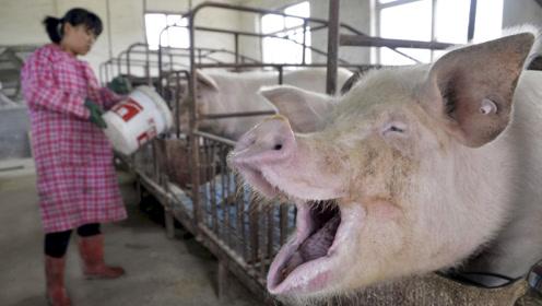 """美国人不吃猪肉,为何还能成为""""养猪大国""""?看完不得不佩服"""