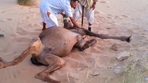 几名男子将骆驼按倒在地,他们意欲何为?镜头拍下过程