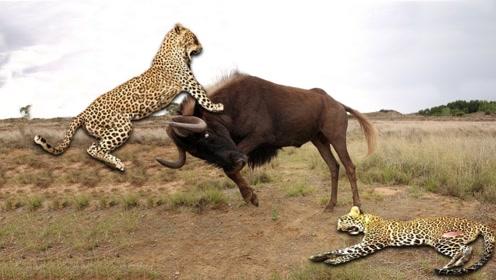 这是我看过最强悍的角马,老子3条腿也能干翻这群猎豹!