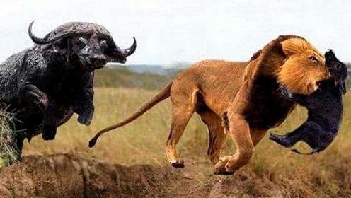 狮子叼走小水牛,水牛爸爸当场就发飙了,直接把狮子顶飞了