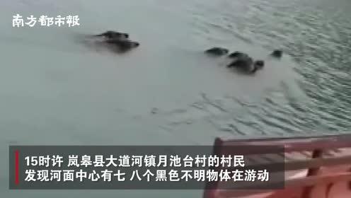 """陕西安康8头野猪游泳""""横渡汉江"""",村民驾小船为其""""保驾护航"""""""