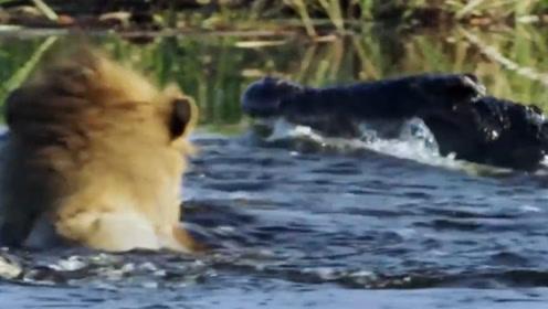 两只狮子和鳄鱼大打出手,死亡翻滚下绝无活口,镜头记录全部过程