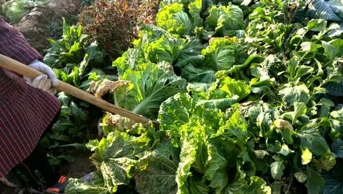天冷了!农户们把自家的菜收回去储存起来准备过冬 看看都有什么
