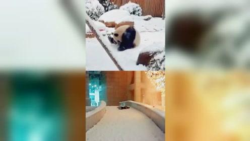 四川熊猫第一次见雪像极了南方人!网友:简直一模一样!