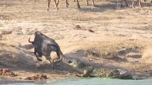 1头角马不慎被鳄鱼咬住腿,同伴围观3小时没一个帮忙的,镜头记录全过程