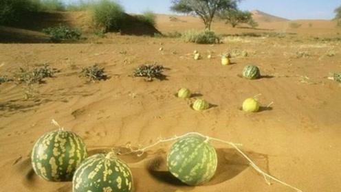 """沙漠地区的""""药西瓜"""",看见一定不要摘,以免带来生命危险!"""
