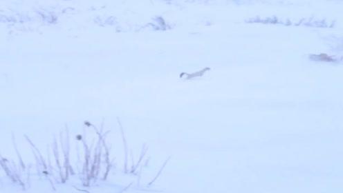 男子雪地玩耍,意外发现一只雪貂,模样也太可爱了