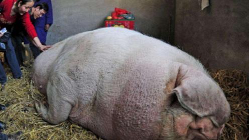 """一头猪一辈子不杀,到底能长到多大?看看这头""""猪王""""就明白了!"""