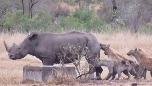 这头犀牛太惨了,惨遭鬣狗掏肛,连尾巴都被吃掉了