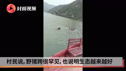 罕见!8只野猪组队横渡汉江 村民开船护送上岸