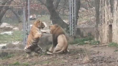 当狮子和老虎起冲突时,狮子被一巴掌扇倒在地