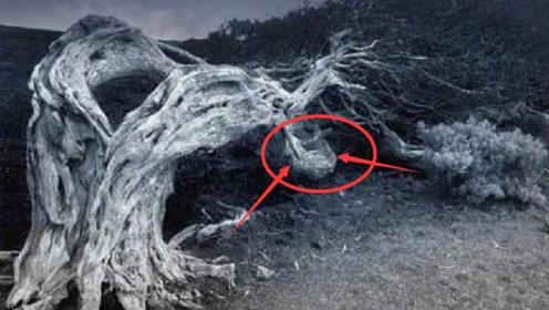 """""""见血封喉""""树,树木内含有剧毒!它是怎么杀人于无形之中呢"""