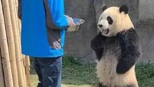 饲养员撤掉熊猫的餐食,下一秒团子的反应亮了,网友:成精了!