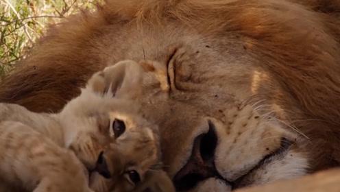 第一次见到爸爸的小狮子太逗了,看清它的反应后,忍住别笑