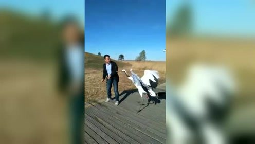 凶悍的丹顶鹤,一直啄主人