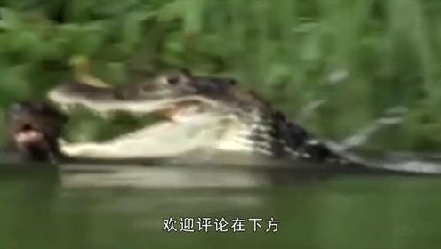 鳄鱼也有天敌?水獭:你长得在凶猛又如何,我不怕!