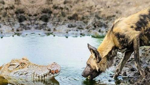 巨鳄岸边大战野狗群,都想把对方变成午餐,结果成这样