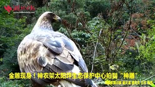 """金雕现身!神农架太阳坪生态保护中心拍到""""神雕"""""""
