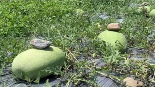 西瓜上面压块石头到底是为何?怕西瓜跑了吗?原来你是这样的西瓜