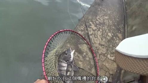 前打黑吉,接近50公分的大黑鲷鱼,钓鱼人拍照放流