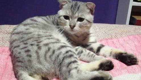 """小猫学会了睡前""""洗脸"""",主人:真是讲卫生的好毛孩儿"""