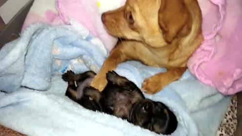 狗妈保护狗宝宝觉都不睡,连对铲屎官都时刻防备着,母爱真伟大