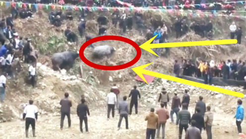 败牛逃到山坡上,谁知脚底打滑摔了下来,这下出事了吧!