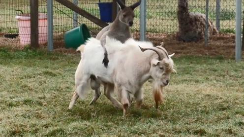 终于找到能治服山羊的动物了,治得服服帖帖,镜头记录下搞笑瞬间