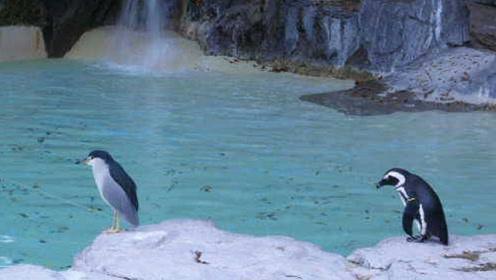 """日本动物园出现新型""""欺诈""""?谜之生物混入企鹅群,淡定站一旁"""