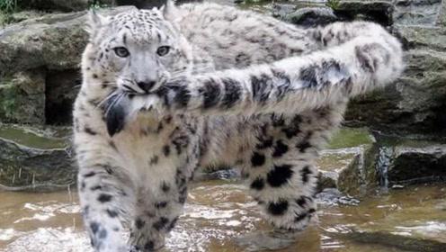 爱干净的雪豹过河,用嘴巴叼起尾巴,这样子简直太可爱了