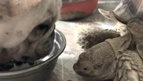 乌龟本想和汪星人抢饭吃,没想到汪星人这么护食,根本不急给它机会!