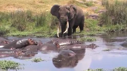 体型庞大的大象地位有高?看它经过河马的领地就知道了,霸气