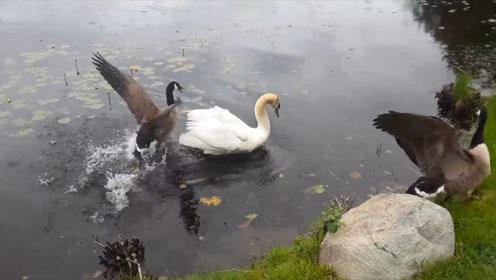 罕见!加拿大鹅为保护鹅宝宝,和天鹅展开激烈打斗