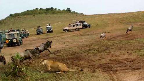 母狮多次捕猎失败,狮王怒其战斗力太弱给自己丢脸,决定亲自出马